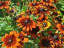 Autumn Colours Rudbeckia