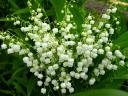 Spring Flowers Lily of the Valley